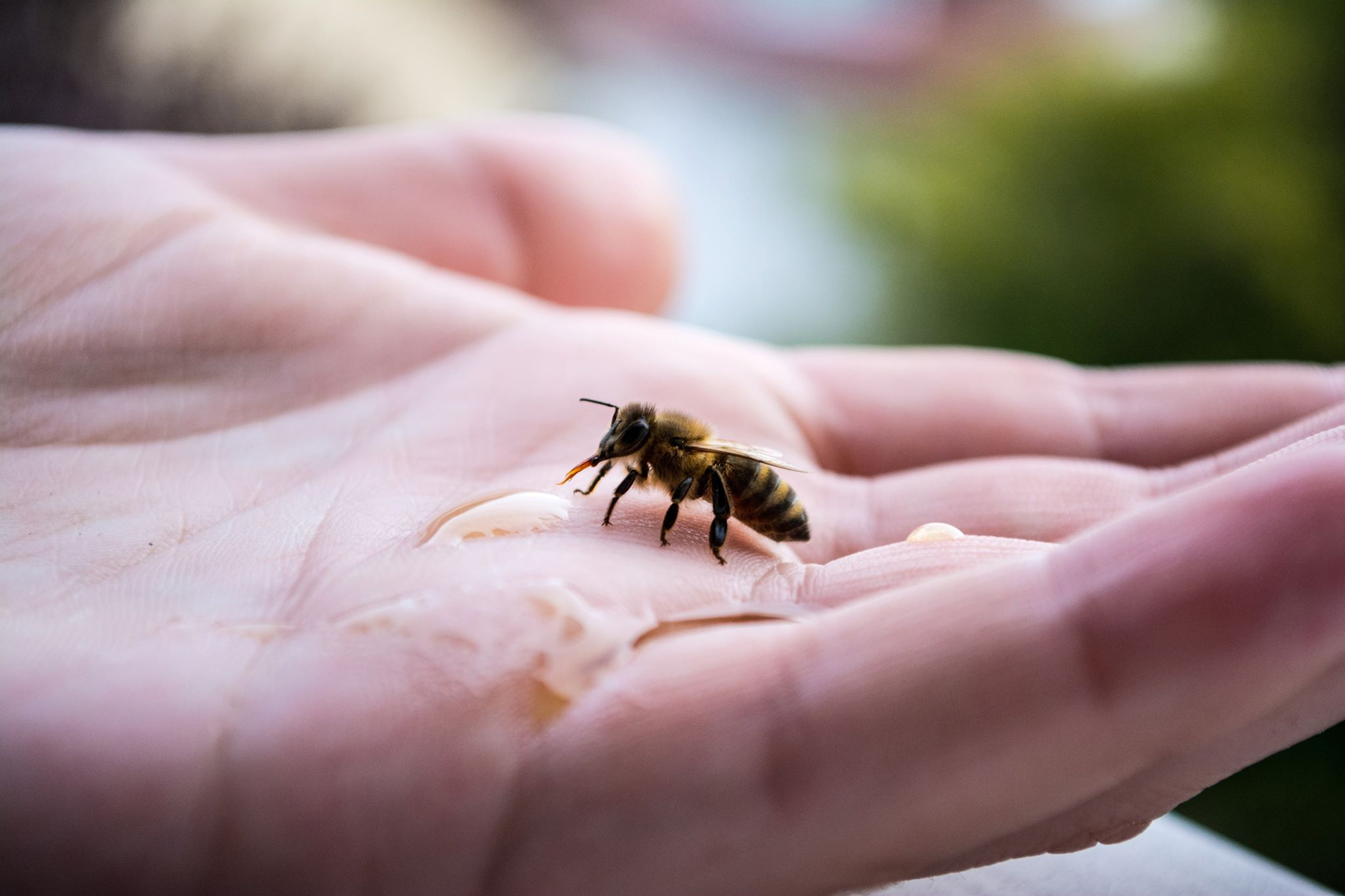 How to Revive a Bee - A bee drinking on a hand
